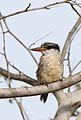 Striped kingfisher, Halcyon chelicuti, Chobe National Park, Botswana (31548445554).jpg