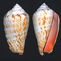 Strombus luhuanus shell