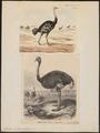 Struthio camelus - 1700-1880 - Print - Iconographia Zoologica - Special Collections University of Amsterdam - UBA01 IZ18900019.tif