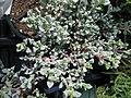 Succulents (6167180443).jpg