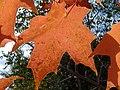 Sugar Maple Leaf (4976751017).jpg