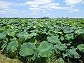 Summer Lotus field in Kase Saga.jpg