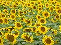 Sunflower field in Canada1.JPG