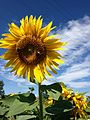 Sunflower in.jpg