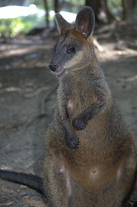 Swamp-wallaby-port-douglas-zoo.jpg