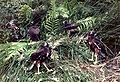 Swamp Harrier juveniles 1988.jpg