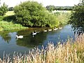 Swan family at Bear Mead - geograph.org.uk - 1187202.jpg