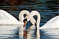 Swans - Stanborough Lakes (33584599910).jpg