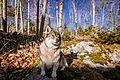 Swedish Vallhund December 2012 016.JPG