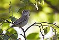 Sylvia borin vogelartinfo chris romeiks CHR4866.jpg