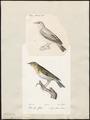 Sylvia sylvicola - 1700-1880 - Print - Iconographia Zoologica - Special Collections University of Amsterdam - UBA01 IZ16200157.tif