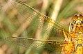 Sympetrum.flaveolum.wing.detail.jpg