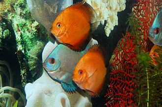 Discus (fish) - Two captive variants (orange and solid turquoise)