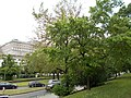 Taban Park Botanical nature trail. European White-elm (Ulmus laevis). - Budapest.JPG