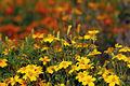 Tagetes tenuifolia 3 (aka).jpg