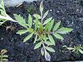 Tagetus patula 0.2 R.jpg
