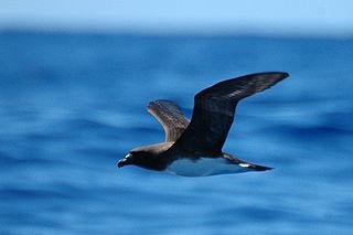 Tahiti petrel species of bird