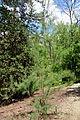 Tamarix ramosissima 'Pink Cascade' - Stanley M. Rowe Arboretum - DSC03439.JPG