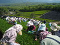 Tea picking 01.jpg