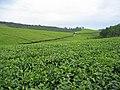 Tea plantation (1).jpg