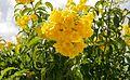 Tecoma Stans (Yellow Elder) (28894268095).jpg