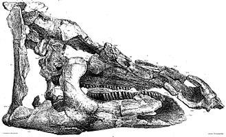 Telmatosaurus - Holotype skull