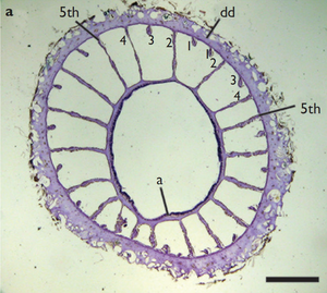 Mesentery (zoology) - Cross section of Terrazoanthus onoi (Zoantharia: Hydrozoanthidae) showing complete and incomplete mesenteries