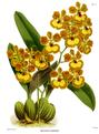 The Orchid Album-01-0038-0012-Oncidium gardneri.png