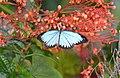 The Wanderer (Pareronia valeria lutescens) male (24565202831).jpg