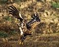 The steppe eagle (Aquila nipalensis) -63.jpg