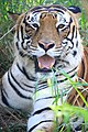 The tiger of the Banerghatta National Park.jpg