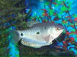 Three Spot Gourami female.jpg