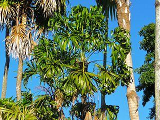 <i>Thrinax parviflora</i> species of plant