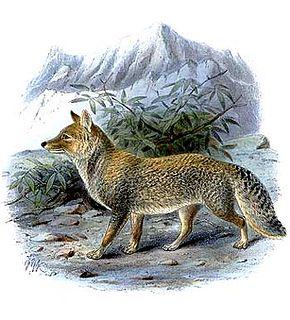 Tibetan sand fox species of mammal
