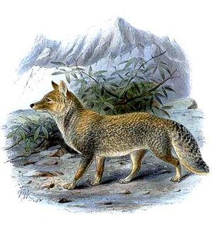 Tibetfuchs (Vulpes ferrilata), Illustration von 1890.