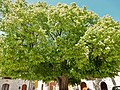 Tiglio bicentenario a Rocca San Felice.jpg
