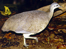 Great Tinamou Tinamus major