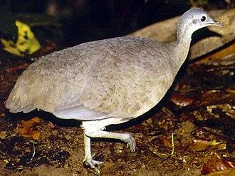 Tinamou - Great tinamou