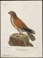 Tinnunculus rupicolus - 1796-1808 - Print - Iconographia Zoologica - Special Collections University of Amsterdam - UBA01 IZ18200237.tif