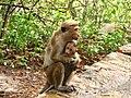 Toque Macaques.jpg