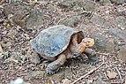 Tortuga gigante de San Cristóbal (Chelonoidis chathamensis), isla Santa Cruz, islas Galápagos, Ecuador, 2015-07-26, DD 08.JPG