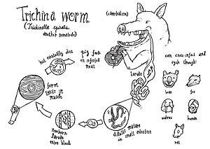 Trichinella spiralis - Trichinella spiralis lifecycle
