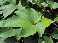 Trichosanthes tricuspidata var. tomentosa 4.JPG