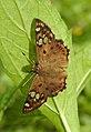 Tricoloured Pied Flat Coladenia indrani by Dr Raju Kasambe DSCN9927 (1).jpg
