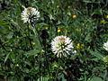 Trifolium montanum.jpg