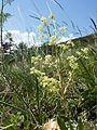 Trinia glauca (subsp. glauca) sl10.jpg