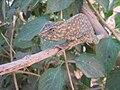 Tripolitania. Chameleon.jpg