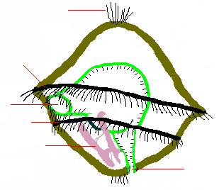 Trochophore larva 01