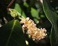 Trophis scandens flower spike.jpg