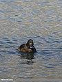 Tufted Duck (Aythya fuligula) (32008642101).jpg